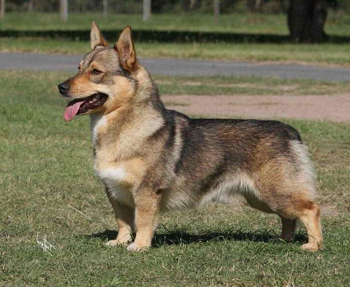 Corgi German Shepherd Mix For Sale