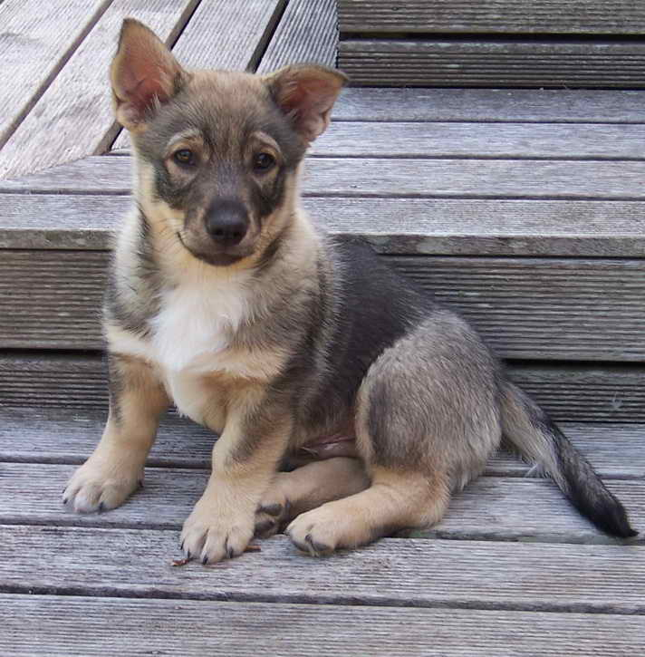 Corgi German Shepherd Mix Puppies For Sale Pets And Dogs