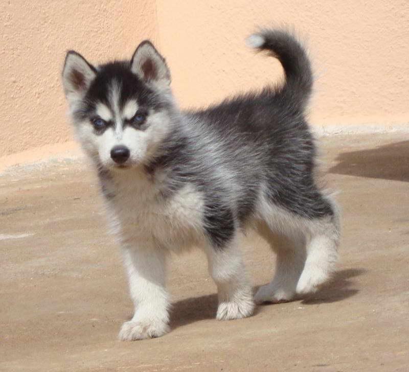 Cost Of Husky Puppy
