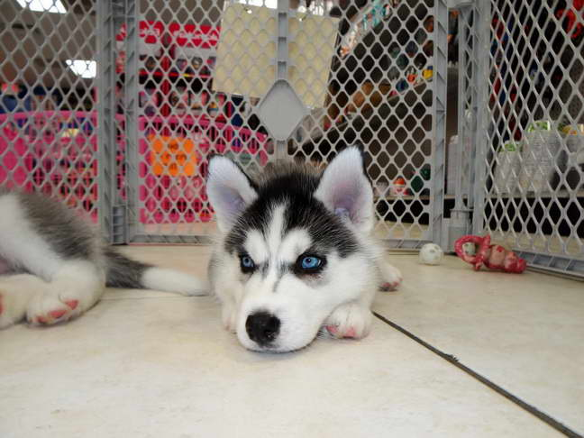 Craigslist Husky Puppies For Sale | Pets and Dogs