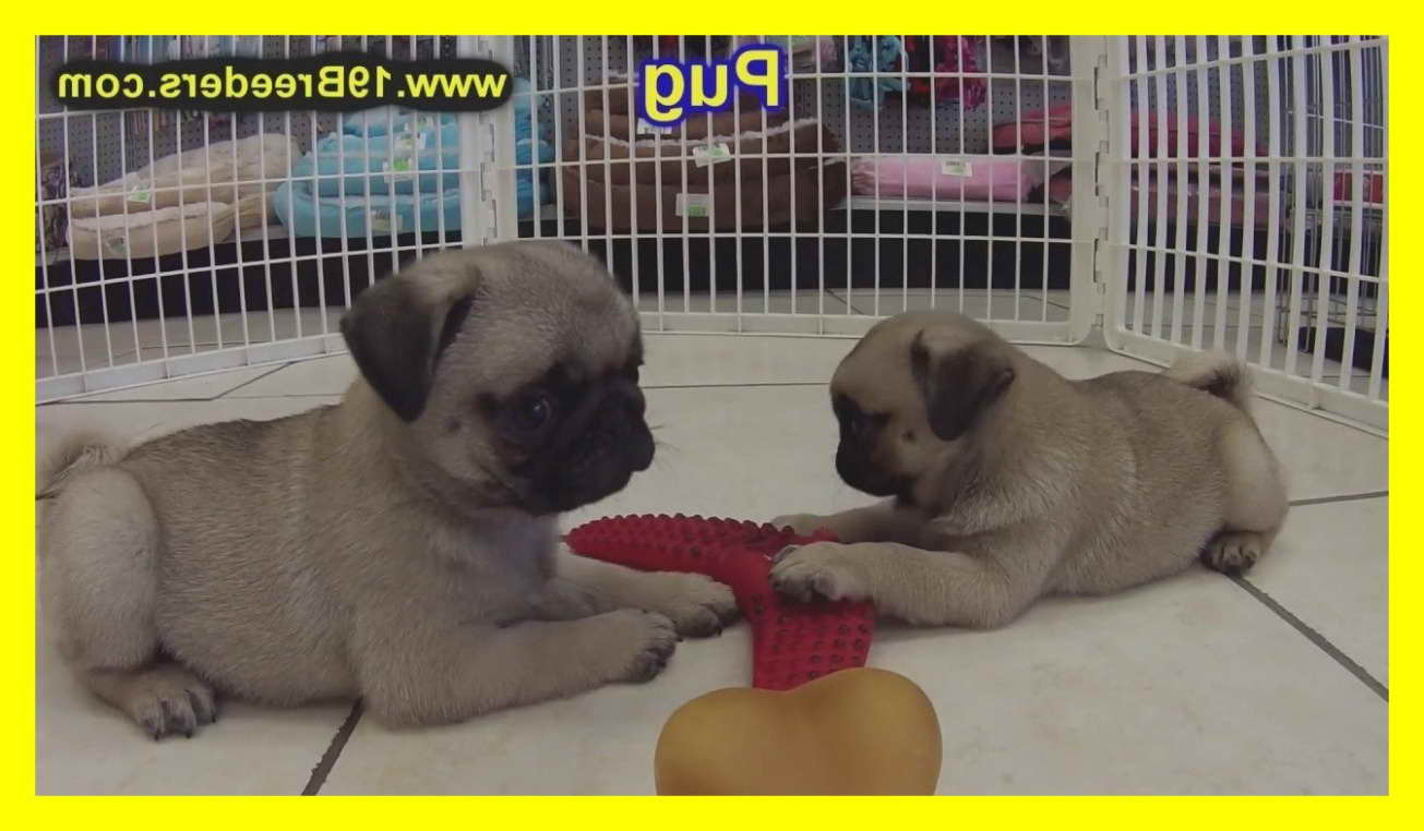 Craigslist Pug Puppies For Sale Petsidi