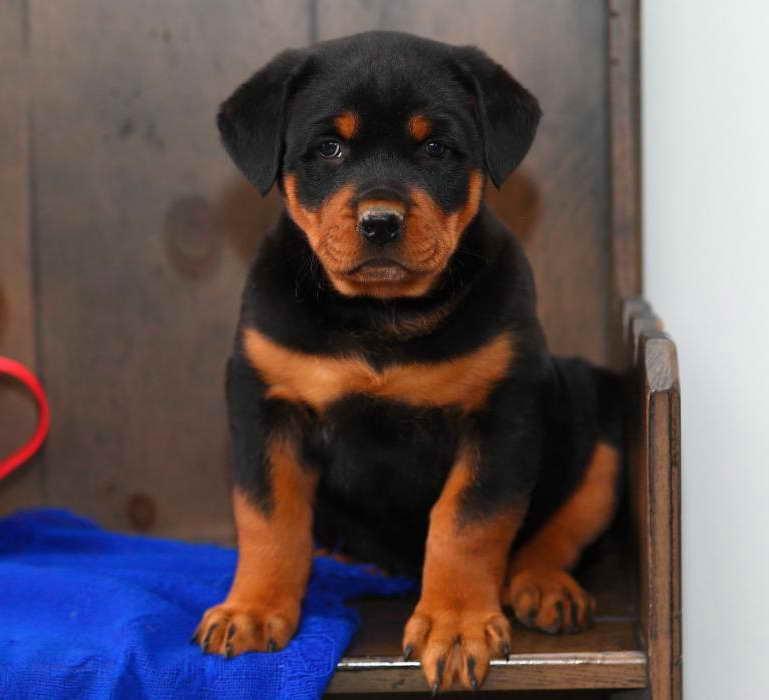 Cute Rottweiler Puppies For Sale Near Me Craigslist ...