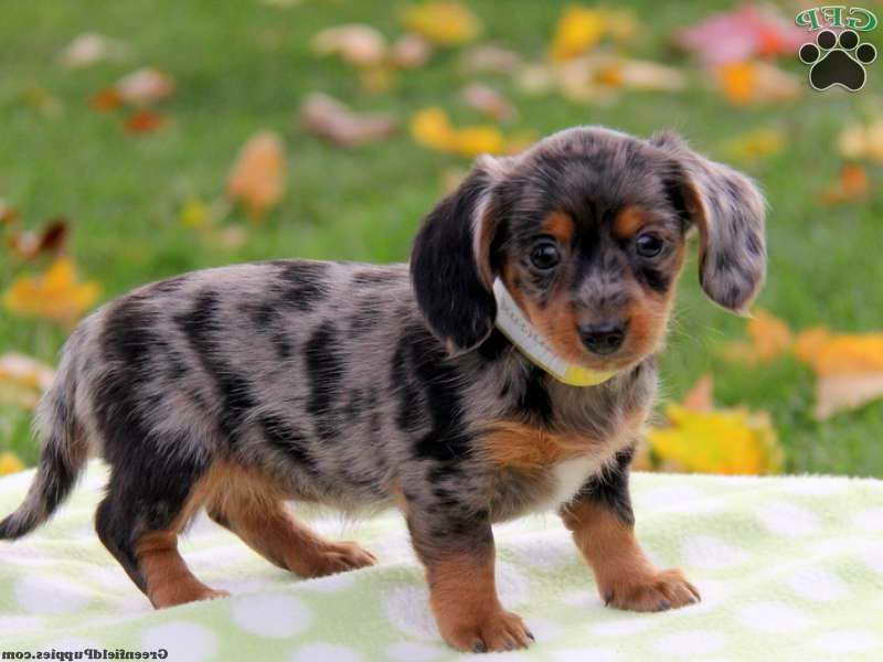 Dachshund Mixed Puppies For Sale Pets And Dogs