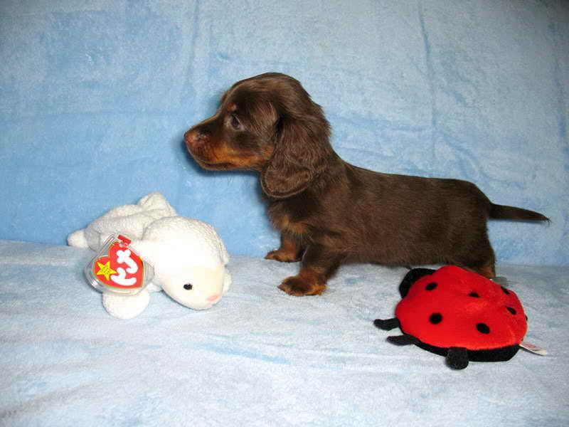 Dachshund Puppies Charleston Sc   PETSIDI