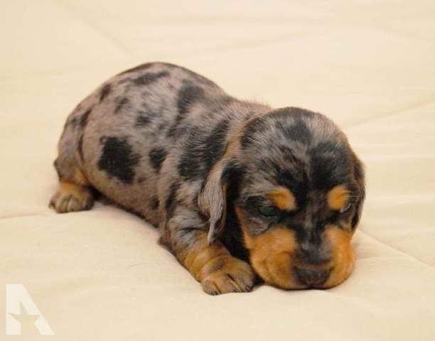 Dachshund Puppies For Sale Arkansas Petsidi