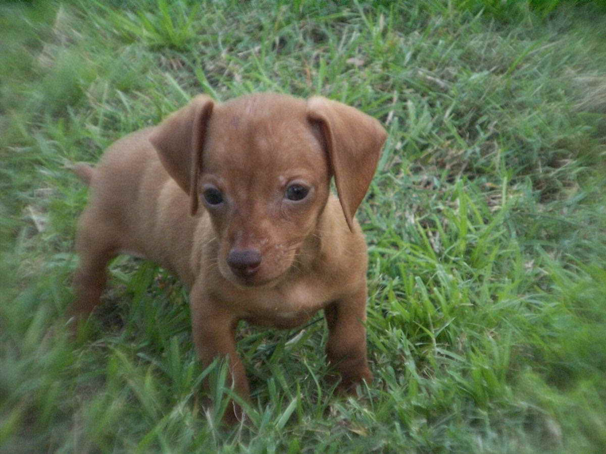 Dachshund Puppies For Sale Charlotte Nc Pets And Dogs