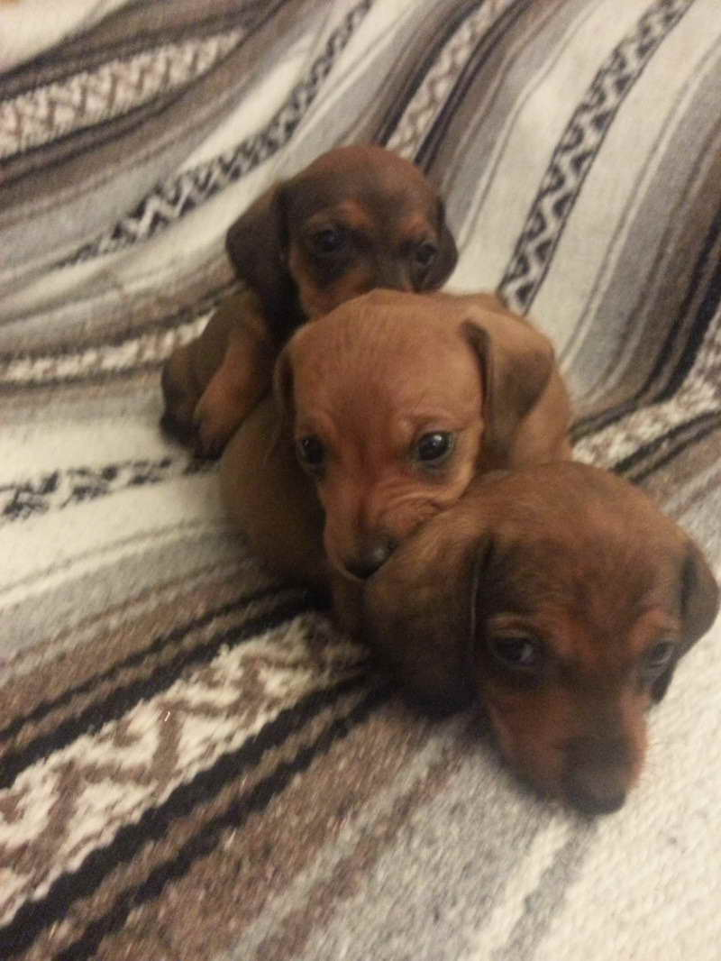 Dachshund Puppies For Sale In Columbus Ohio Pets And Dogs