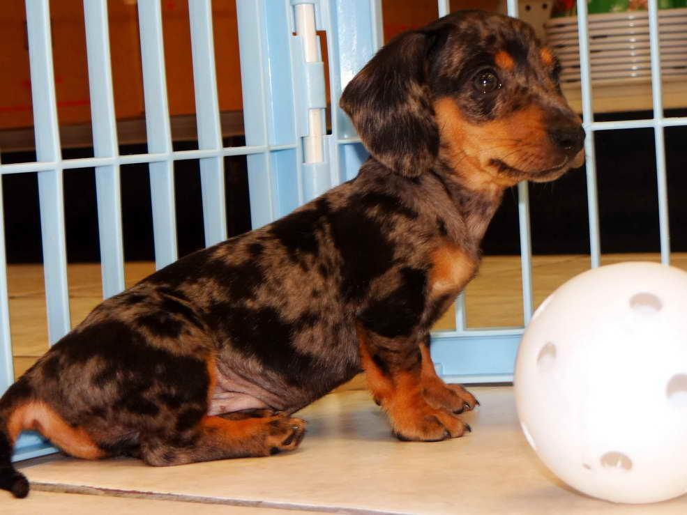 Dachshund Puppies For Sale In Ga | PETSIDI