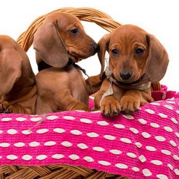 Dachshund Puppies For Sale In Grand Rapids Michigan Pets And Dogs