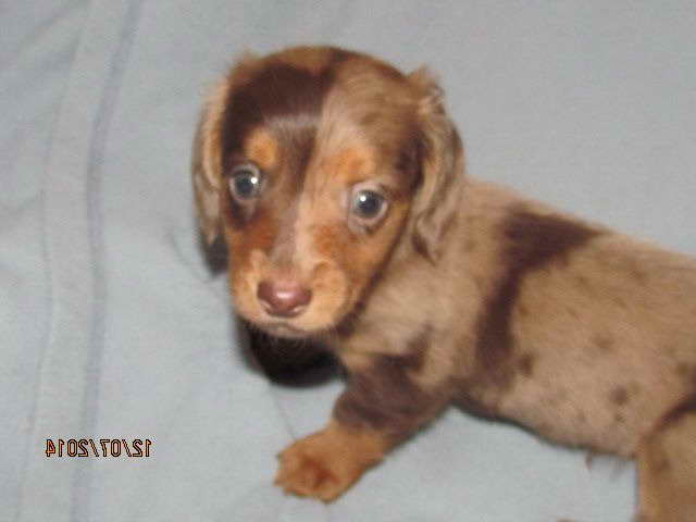 Dachshund Puppies For Sale In Michigan Pets And Dogs