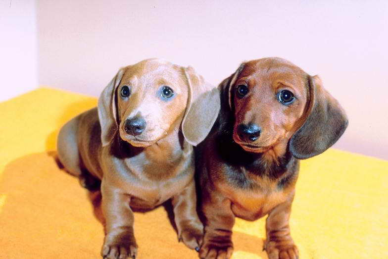 dachshund puppy for sale near jacksonville north carolina dachshund puppies for sale in north carolina pets and dogs 2757