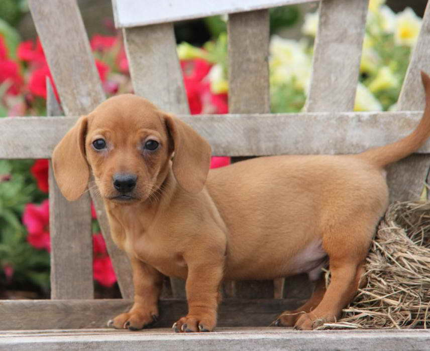 Dachshund Puppies Craigslist Pa - Puppy And Pets