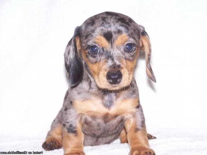 Dachshund Puppies For Sale In Tn Petsidi