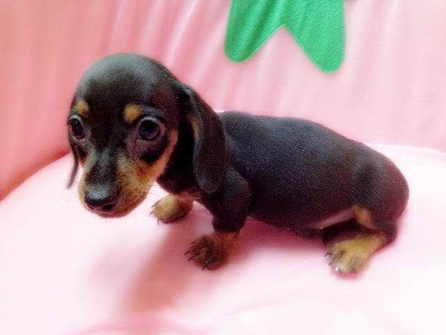 Dachshund Puppies For Sale Nyc Pets And Dogs