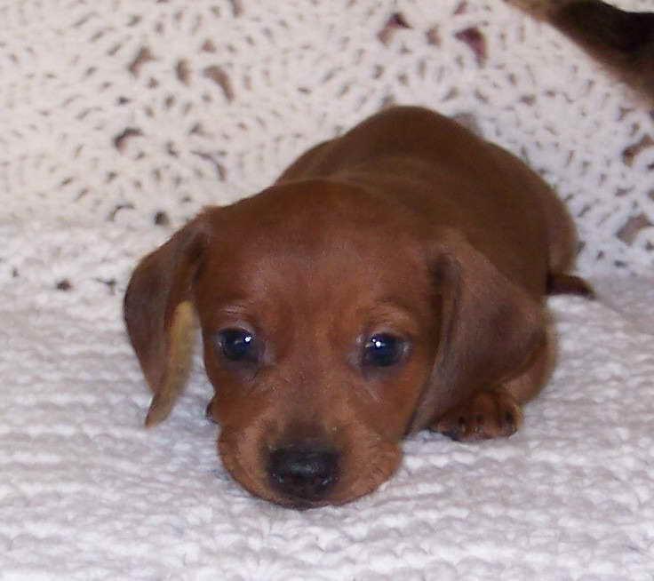 Dachshund Puppies For Sale Okc Petsidi