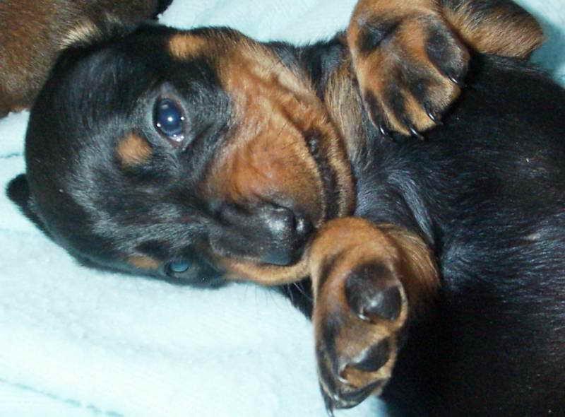 Dachshund Puppies Ny