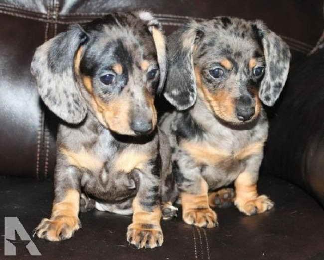 Dapple Dachshund Puppies For Sale In Florida | PETSIDI