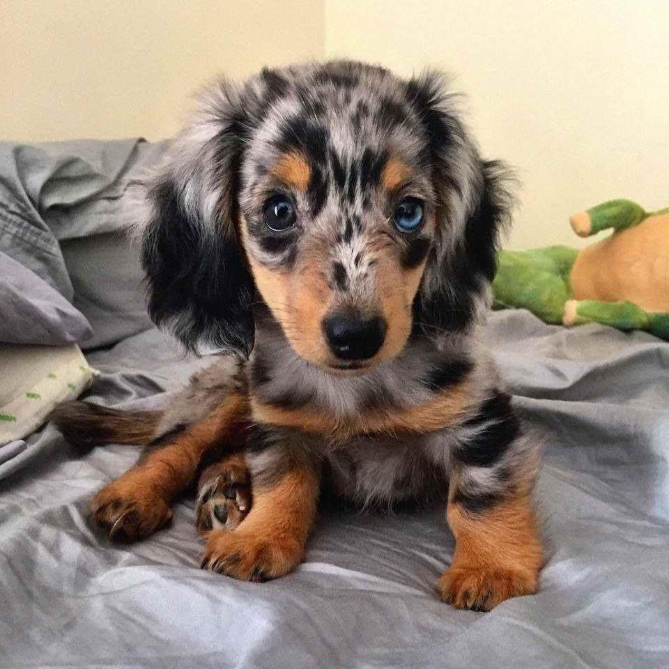 Dapple Long Haired Mini Dachshund