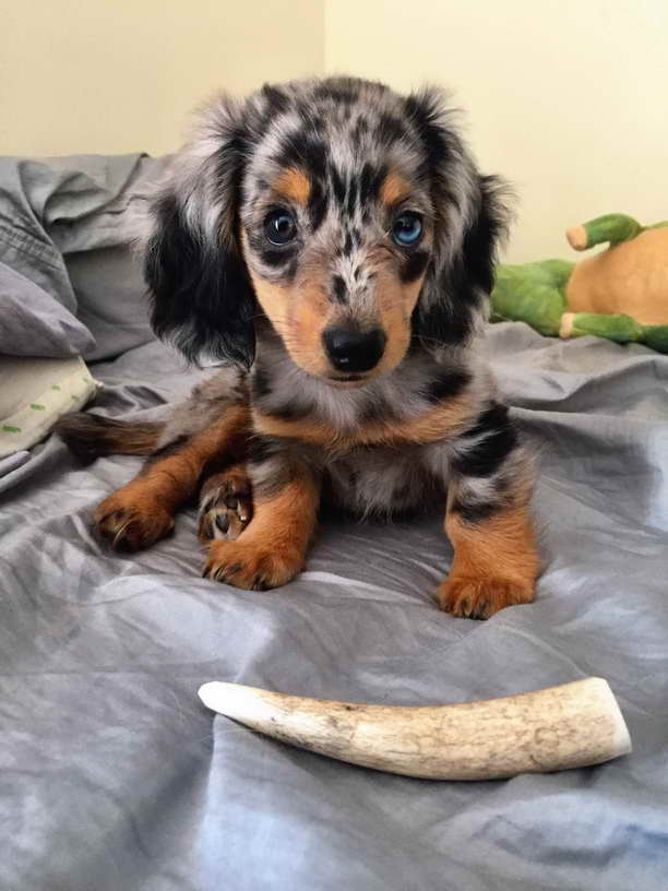Dle Miniature Dachshund Puppies
