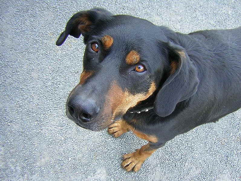 Dog That Looks Like A Rottweiler But