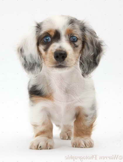 Double Dapple Dachshund Puppies For Sale Pets And Dogs
