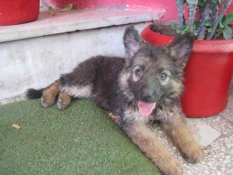Dwarf German Shepherd Puppies For Sale