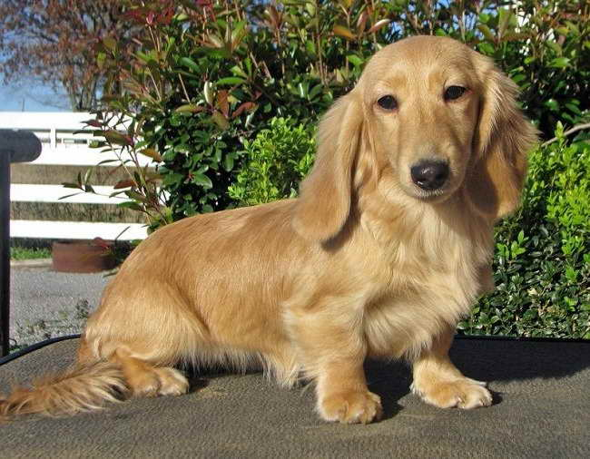 English Cream Long Haired Dachshund Puppies For Sale