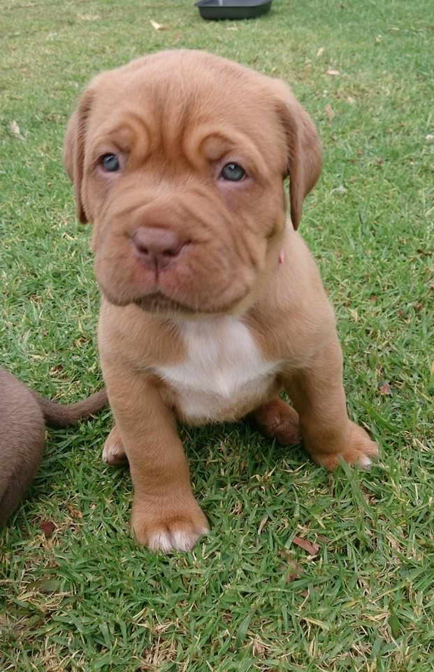 English Mastiff Pitbull Mix Puppies For