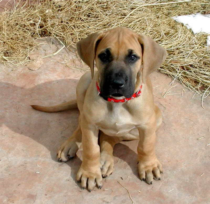Fawn Great Dane Puppies
