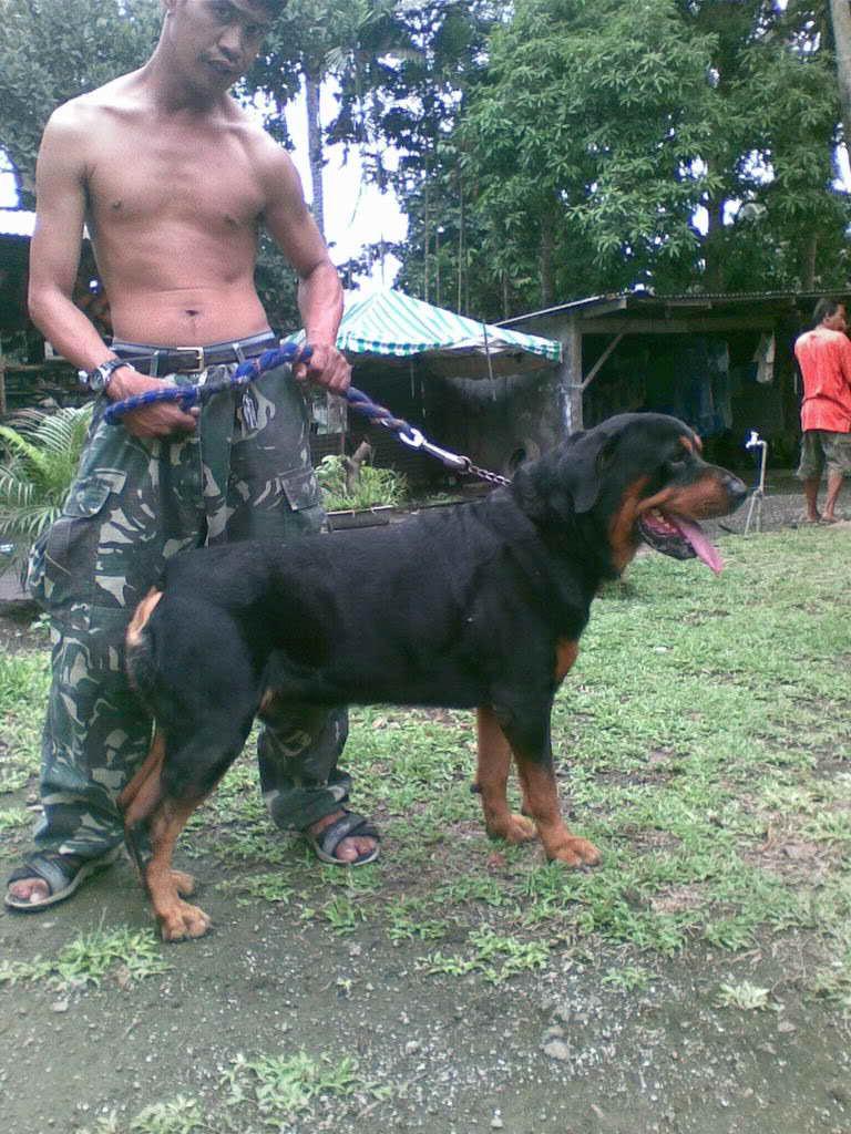 Free German Rottweiler Puppies