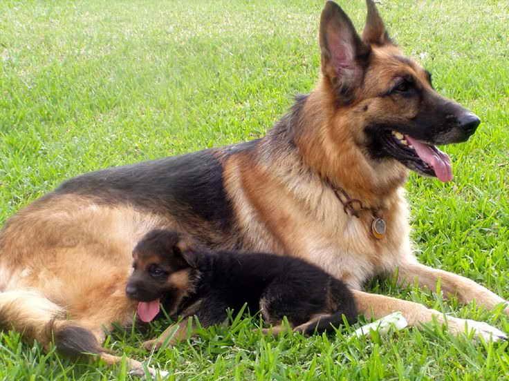 Free German Shepherd Puppies Florida