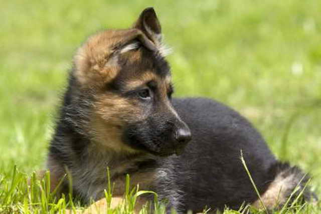 Free German Shepherd Puppies For Adoption