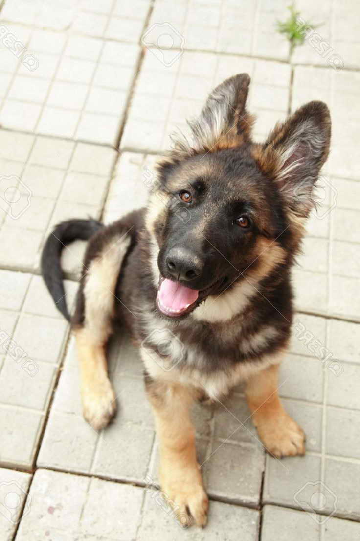 Free German Shepherd Puppies Near Me Petsidi