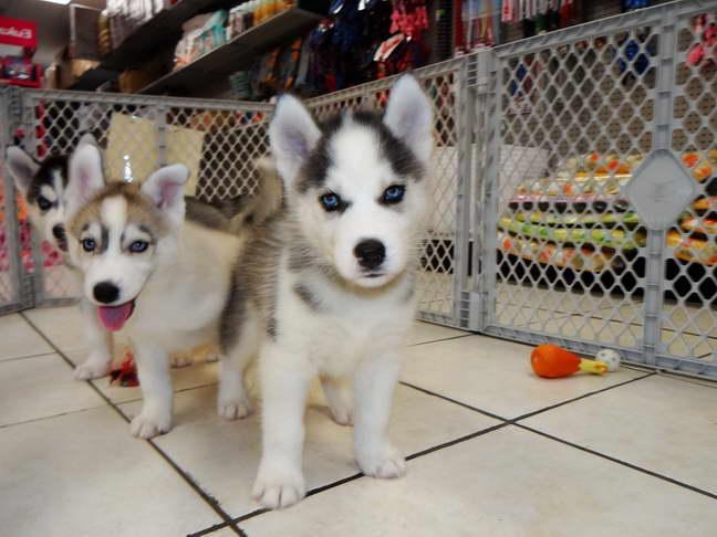 Free Husky Puppies Craigslist   PETSIDI