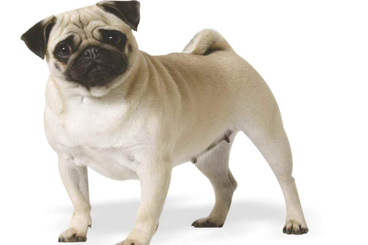 Free Pug Adoption | Pets and Dogs