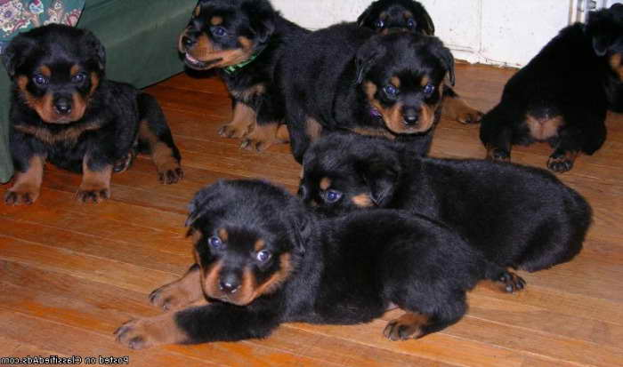 Free Rottweiler Puppies In Indiana Pets And Dogs