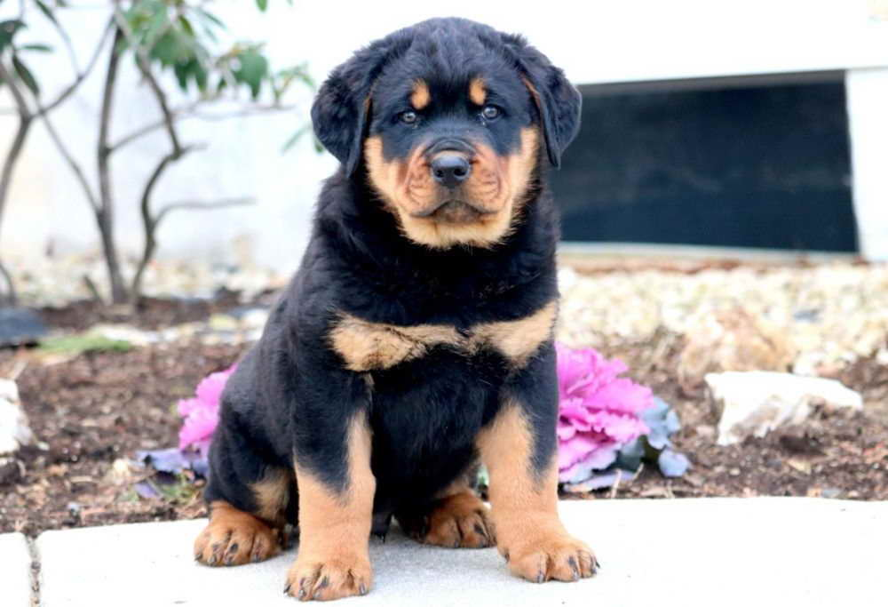 Free Rottweiler Puppies In Pa Pets And Dogs