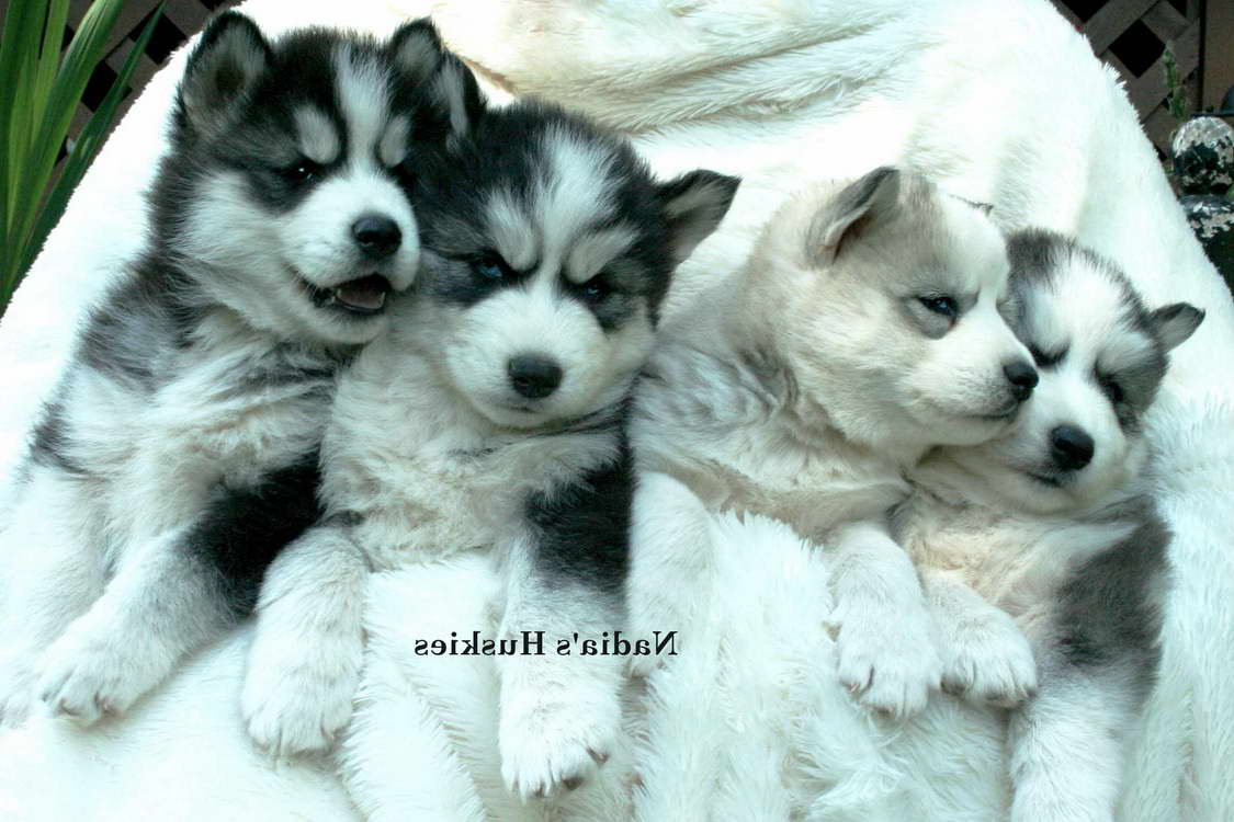 Free Siberian Husky Puppies For Adoption