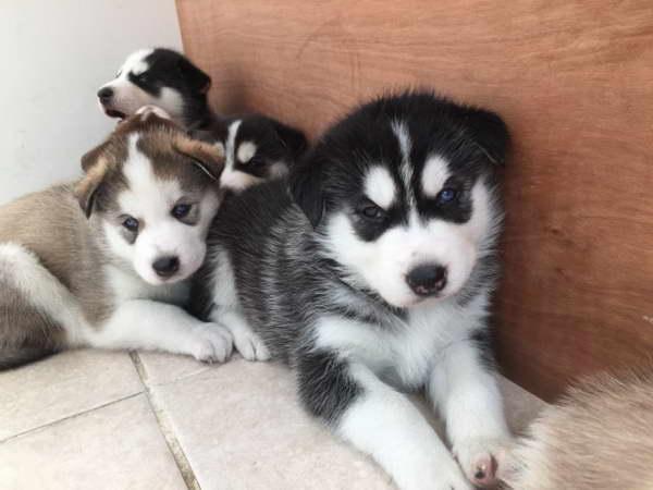 Free Siberian Husky Puppies In Illinois