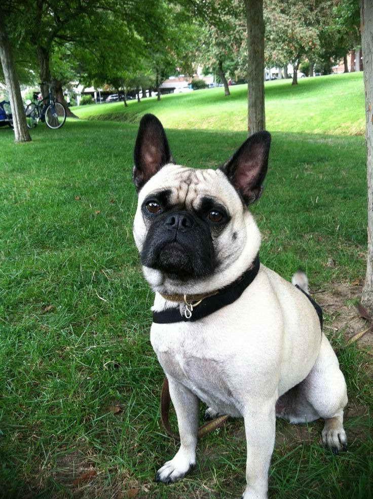 French Bulldog And Pug Mix