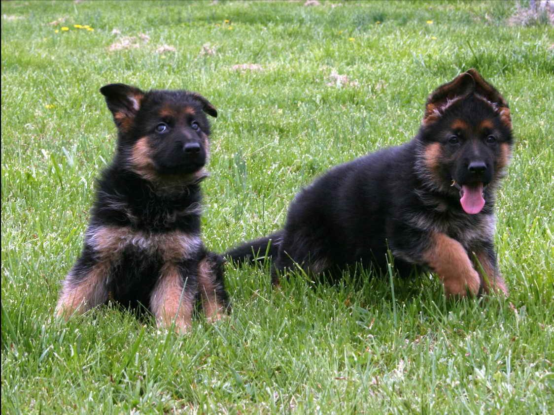 German Bloodline German Shepherd Puppies For Sale Petsidi