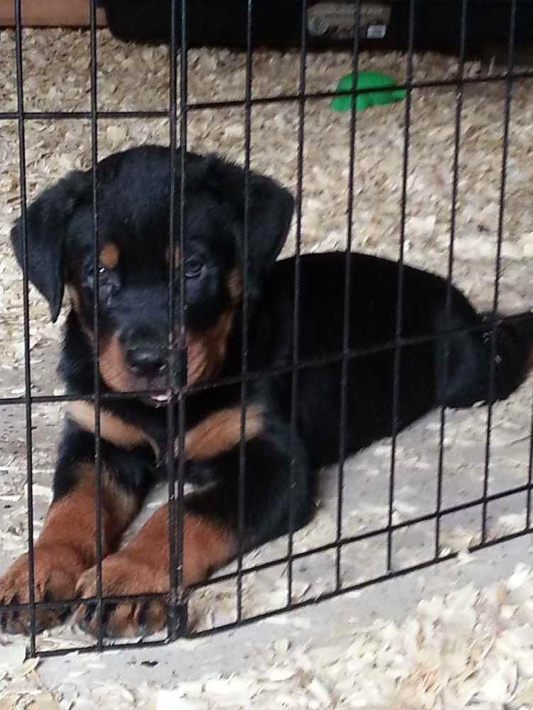 German Rottweiler Puppies For Sale Craigslist Petsidi