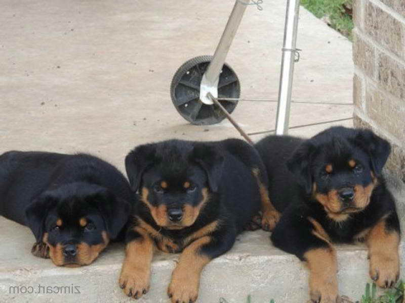 German Rottweiler Puppies For Sale In Houston Pets And Dogs