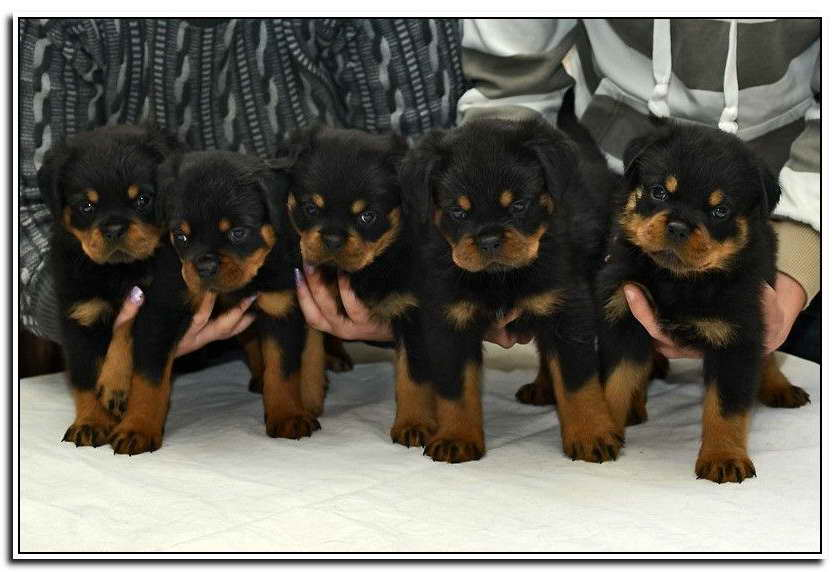 German Rottweiler Puppies For Sale In Missouri Pets And Dogs
