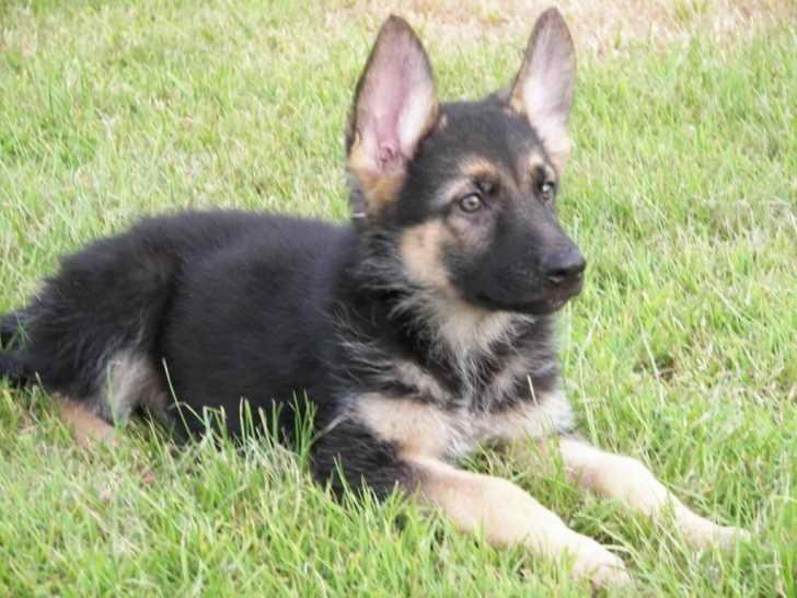 German Shepherd Adoption Near Me