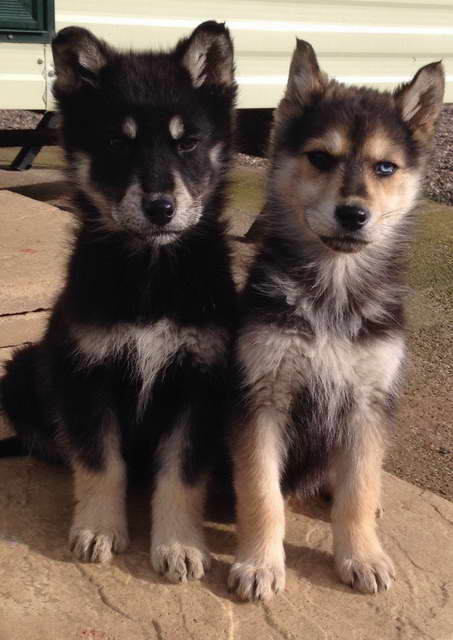 German Shepherd And Siberian Husky Mix Puppies For Sale Pets And Dogs