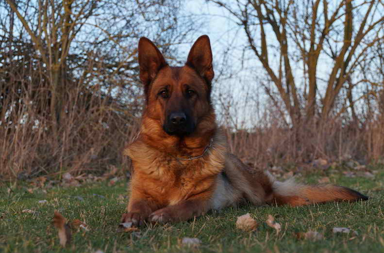 German Shepherd Austin Texas Petsidi