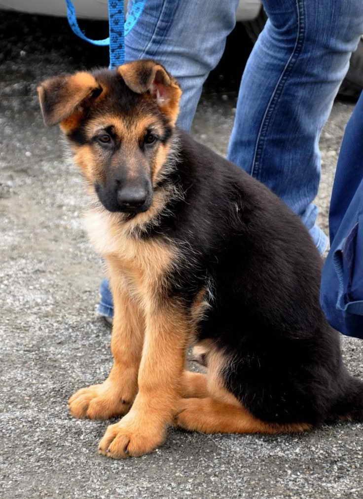 German Shepherd Australian Shepherd Mix Puppies For Sale