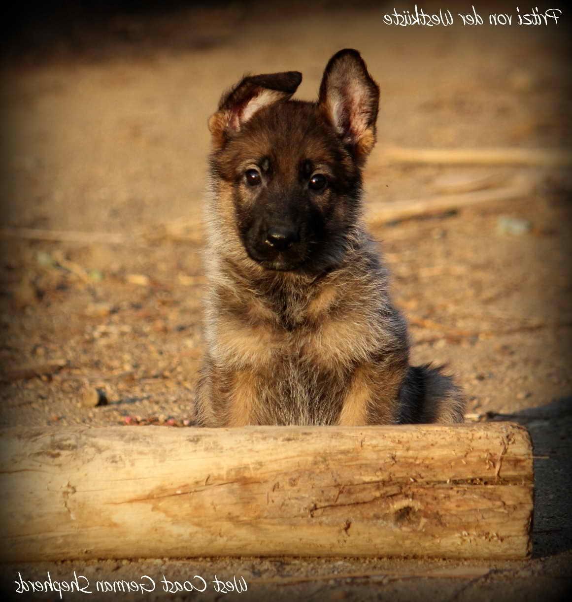 German Shepherd Breeders Orange County