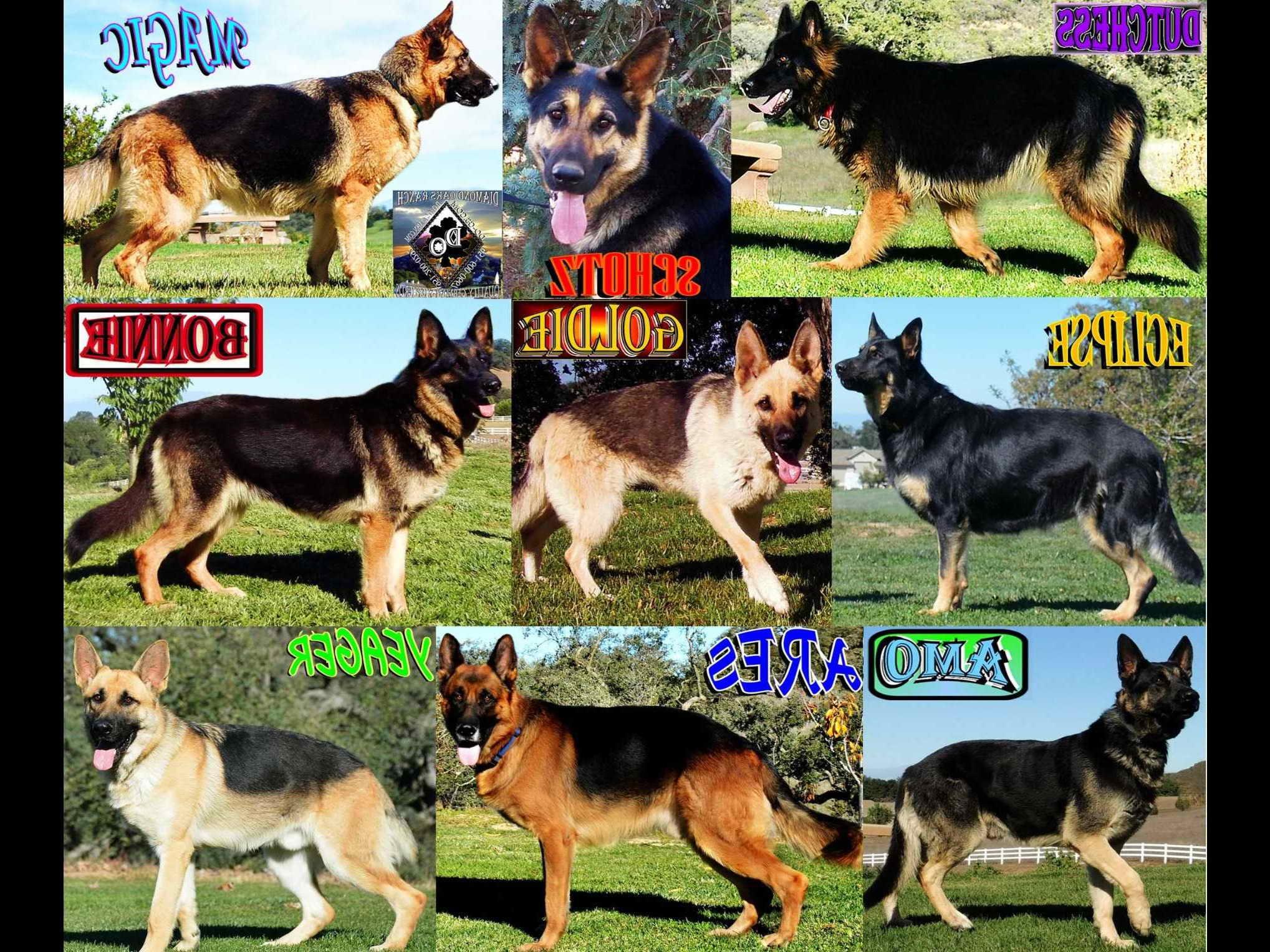 German Shepherd Dog Price List   Pets and Dogs